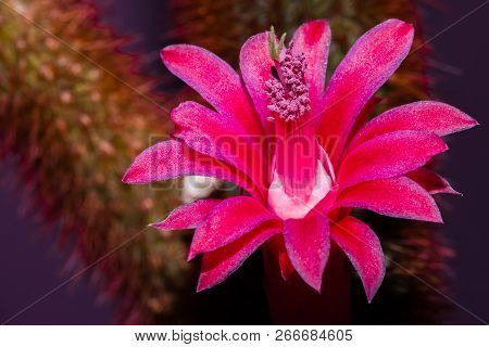 Close Up Of A Red And Pink Cactus Flower Blooming