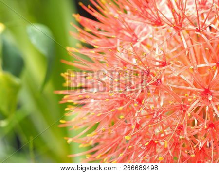 Closeup Blood Flower Or Powder Puff Lily Flower Or Fireball Flower Blooming In May.