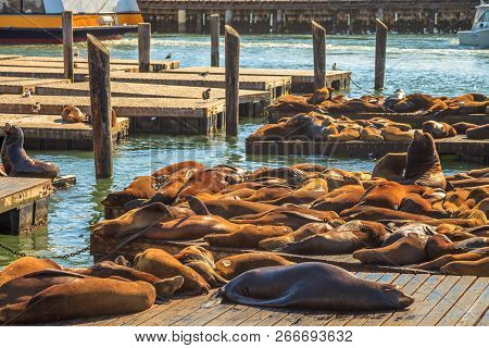 Crowds Of Sea Lions Sleeping At Pier 39 In San Francisco. Pier 39 Is Popular Tourist Attraction In S