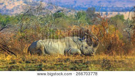 White Rhinocero, Ceratotherium Simum, Also Called Camouflage Rhinoceros Resting In Bushland Natural