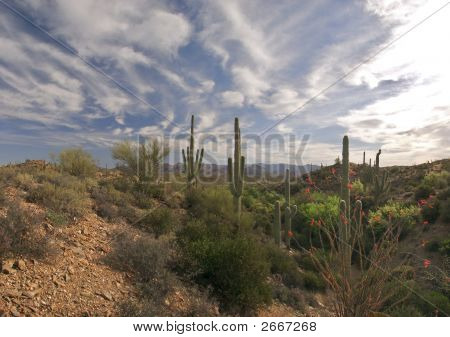 Ocotillo And Saguaros.
