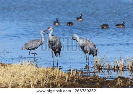 Group Of Sandhill Cranes Near Monte Vista, Colorado.