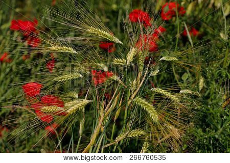 View Of Golden Wheat Field With Papaver Flowers. Summer Countryside Landscape. Macro Photography Of