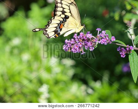 A Yellow Black Swallow Tail Butterfly Sips Nectar From A Bush With Its Favorite Purple Flower.