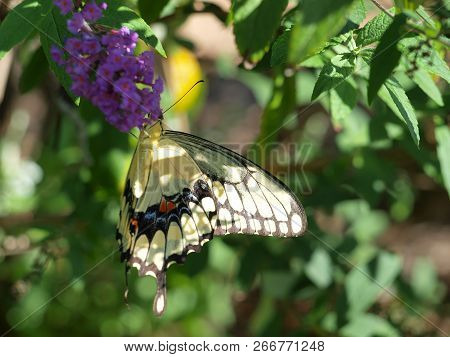 Yellow Black Swallow Tail Butterfly Sips Nectar For A High Nectar Planned Garden For Butterflies.