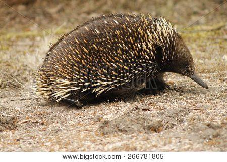 Echidna Nature Waddling Wildlife Prickly Porcupine Nose