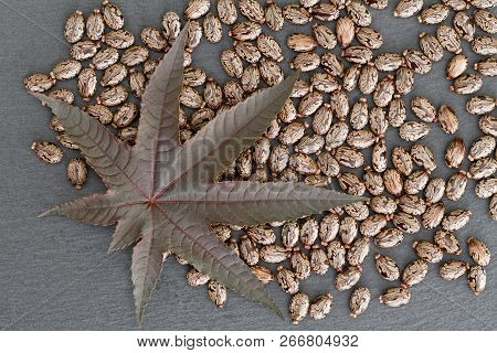 Castor Bean (ricinus Communis) - Leaf And Seeds