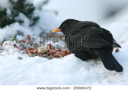 bird eating seeds of a table in winter