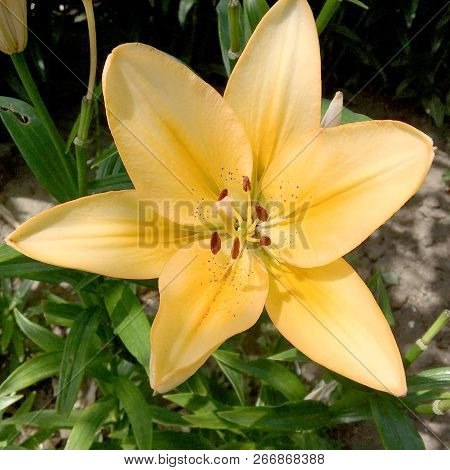 Blooming Flower Lily With Green Leaves, Living Natural Nature, Unusual Aroma Bouquet Flora. Lily Flo