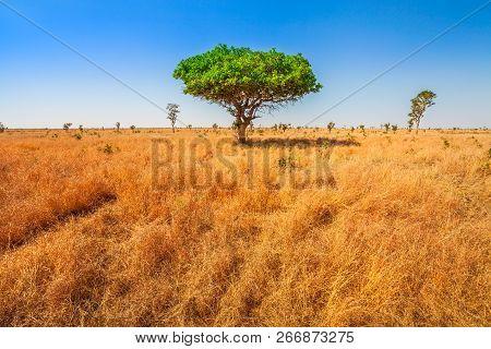 African Acacia Tree In Serengeti National Park In Tanzania, East Africa, Dry Season. Africa Safari S