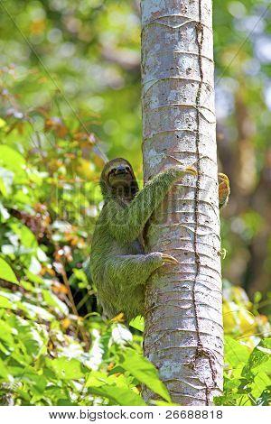 A Three-toed Sloth