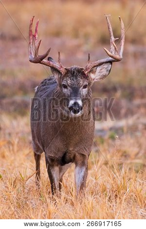 White-tailed Buck Returning From Combat - Wild Deer In The Colorado Great Outdoors