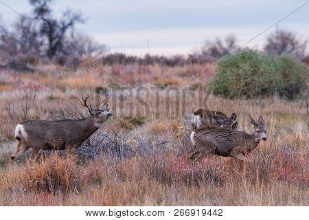 Mule Deer Buck Taking Scent Of Two Doe - Wild Deer In The Colorado Great Outdoors