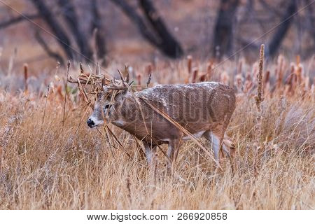 Wild Deer In The Colorado Great Outdoors - Rutting White-tailed Deer Covered In Cattails