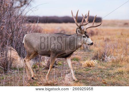 Wild Deer In The Colorado Great Outdoors - Mule Deer Buck In A Field Of Grass