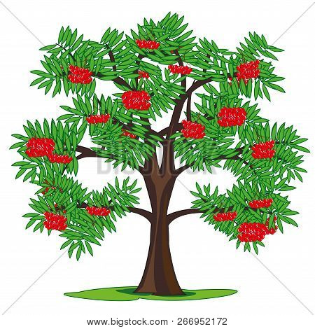 Tree Rowanberry And Ripe Berries On Branch