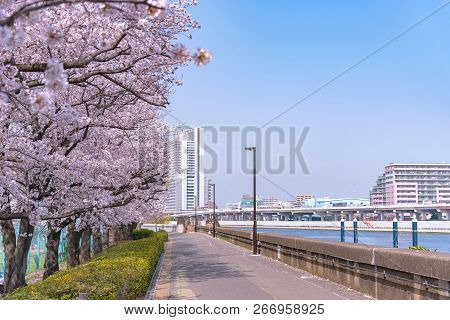 Cherry Blossoms In Full Bloom At Sumida Park.  Asakusa Sumida Park Cherry Blossom Festival. In Sprin