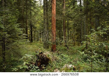 Green Forest Nature. Green Forest Trees. Nature. Pine Forest. Natural Environment. Forest Nature. Re