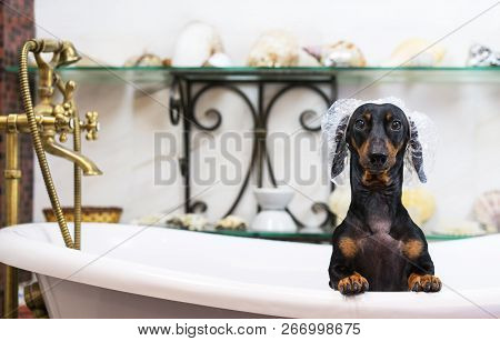 A Cute Little Dog Dachshund, Black And Tan, Taking A Vintage Bubble Bath With His Paws Up On The Rim