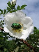 Green shiny beetle on a wild rose flower poster