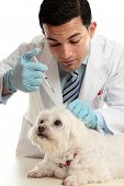 An expert veterinarian medicating a small dog using a syringe needle to the back scruff of the neck. poster