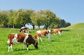 Cows in Emmental region, Switzerland poster