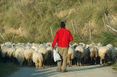 back view of a shepherd with a red sweatshirt is leading his flock on a country road poster