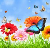 colored gerber flowers with exotic butterflies poster