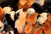 Little chicks poster