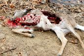 Dead deer killed by coyotes poster