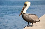 Pelican on a coastal wall poster