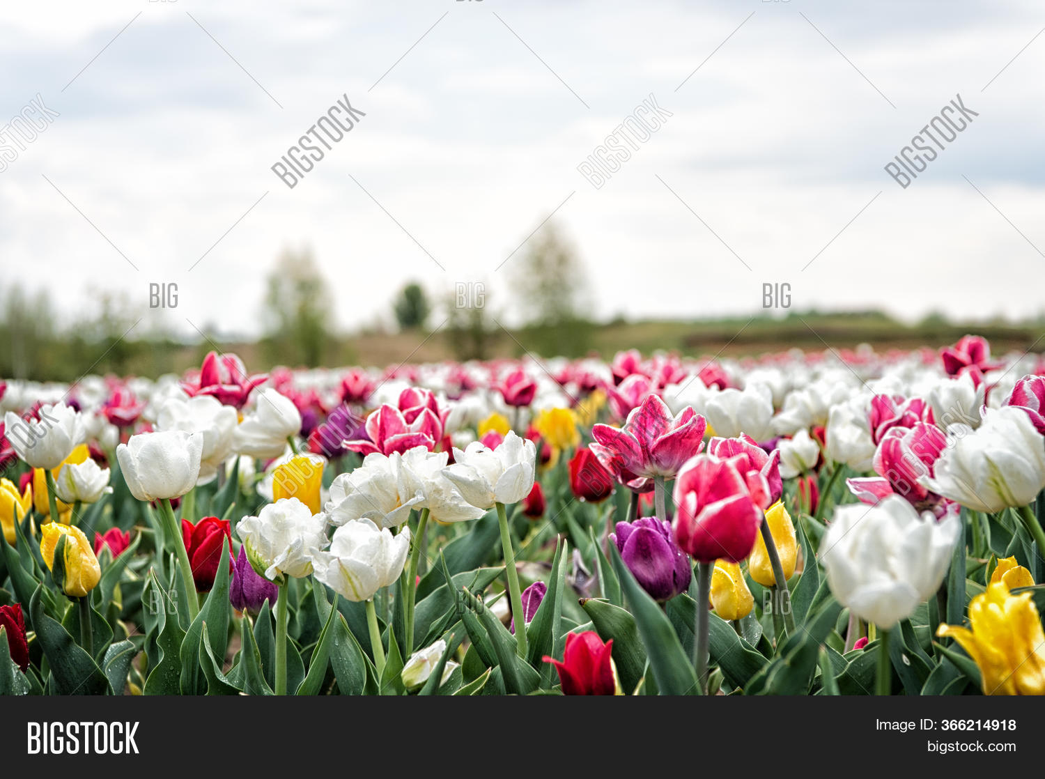 Bulb Fields Springtime Image Photo Free Trial Bigstock