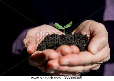 Male Hands Holding Young Plant. Ecology Concept.hands Holding Soil With Young Tree. Earth Day.seedli