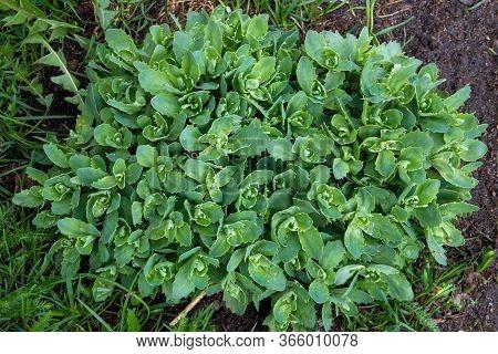 Euphorbia Myrsinites Seed Heads Myrtle Spurge, Blue Spurge, Broad-leaved Glaucous-spurge, Donkey-tai