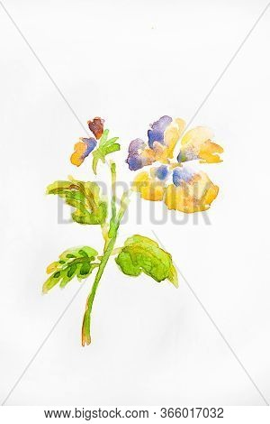 Watercolor Drawing Of Flower Isolated On White Background. Illustration Of Kiss-me-quick.