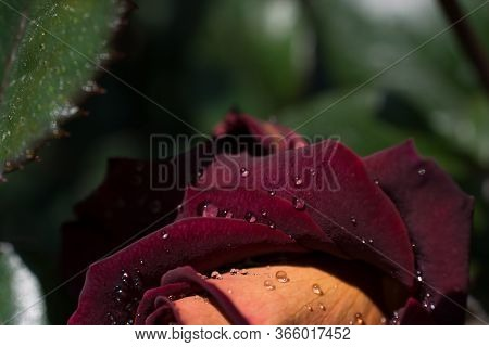 Beautiful Colorful Rose With Water Drops On It