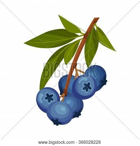 Blueberry Branch With Mature Berries Hanging Vector Illustration