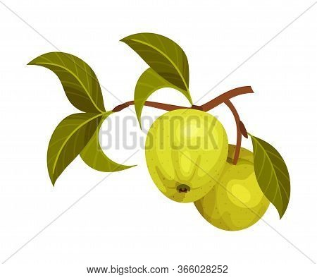 Apple Branch With Mature Fruits Hanging Vector Illustration