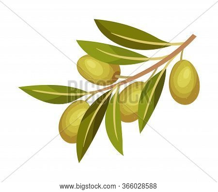 Olive Branch With Mature Berries Hanging Vector Illustration