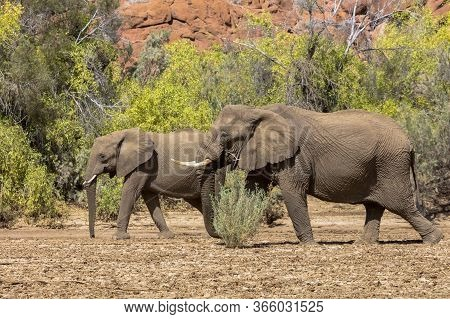 A Male Elephant Crosses A Dried River Bed In Namibia In Front Of A Female Elephant.
