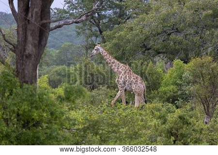 A Solitary Giraffe Walks Through Lush Forest In Zimbabwe, Looking For Food.