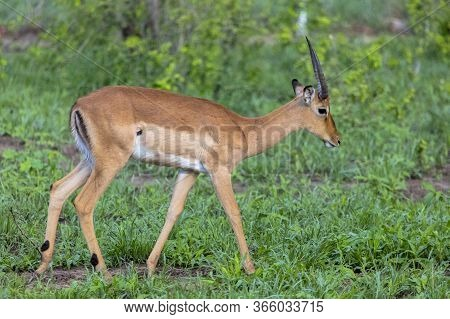 A Solitary Male Impala Browses For Food While Remaining Alert For Predators. Zimbabwe.