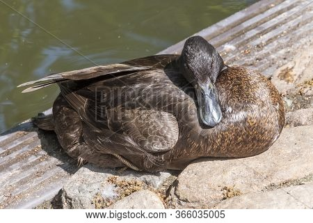 One Brown Duck With Black Beak, The Duck Itches With Its Beak In Its Feathers. Filtered Sun And Shad