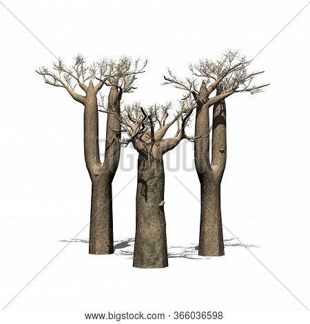 A Little Group Of Madagascan Baobab Trees  In Winter With Shadow On The Floor - Isolated On White Ba