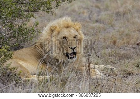 A Solitary Male Lion Rests By A Bush In South Africa