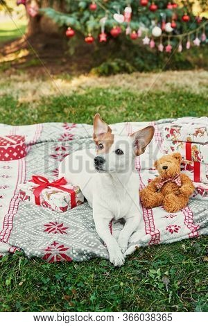 Christmas Dog Jack Russell Terrier. Winter Holidays And Animal Concept. Merry Christmas And Happy Ho