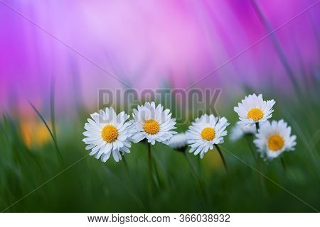 Beautiful Nature Background With Small Flowers Daisies In Green Grass. Artistic Toned Image Of Summe