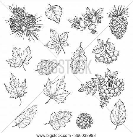 Autumn Leaf And Fruit Sketches. Vector Fall Leaves Of Maple Tree, Oak And Birch, Chestnut Foliage, O