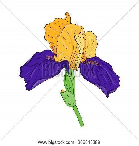 Blooming Iris Flower. Blooming Bud On The Stem. Color Spring Botanical Illustration. Hand Drawn And