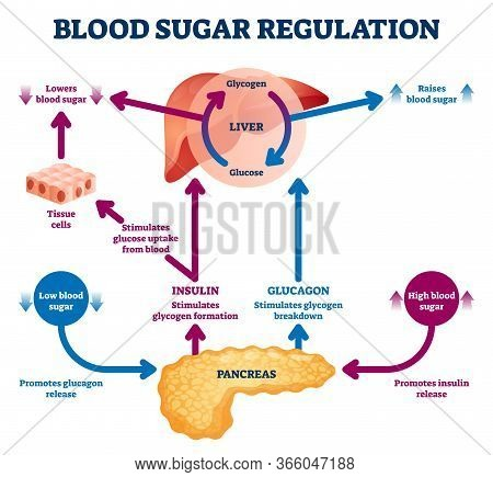 Blood Sugar Regulation Vector Illustration. Labeled Process Cycle Scheme. Educational Liver And Panc